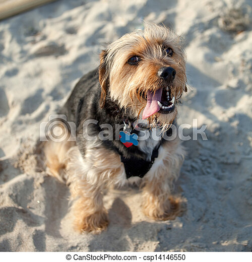 Borkie Dog At The Beach Portrait Of A Young Yorkshire Terrier
