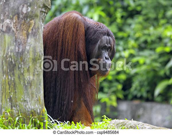 Borneo Orangutan - csp9485684