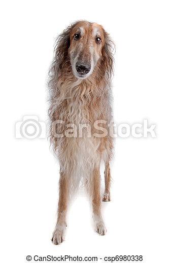 Borzoi or Russian Wolfhound - csp6980338
