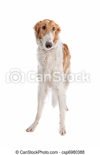 Borzoi or Russian Wolfhound - csp6980388