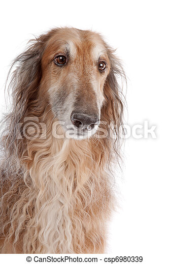 Borzoi or Russian Wolfhound - csp6980339