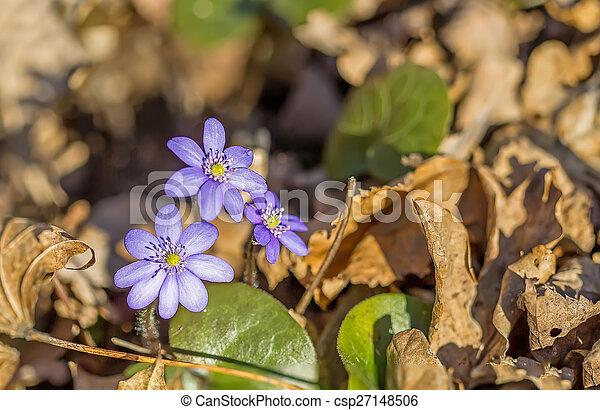 Violetas azules en el bosque - csp27148506
