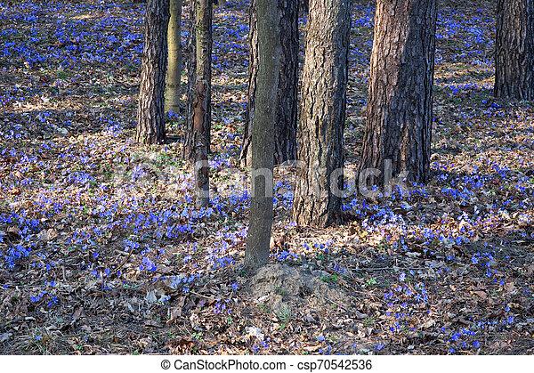 Violetas en el bosque de pinos - csp70542536