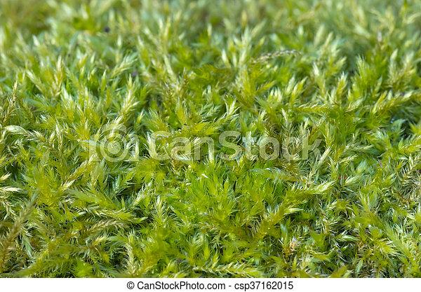 Musgo verde en el bosque - csp37162015