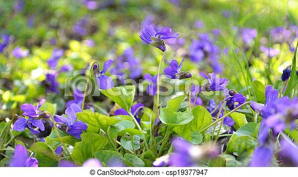 Violetas del bosque - csp19377947