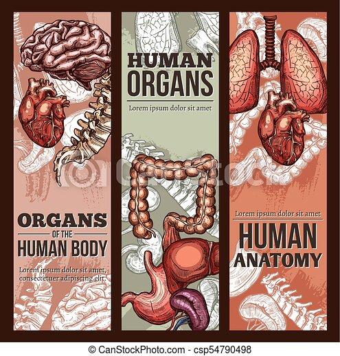 Bosquejo, cartel, anatomía, vector, humano, órganos. Bosquejo ...