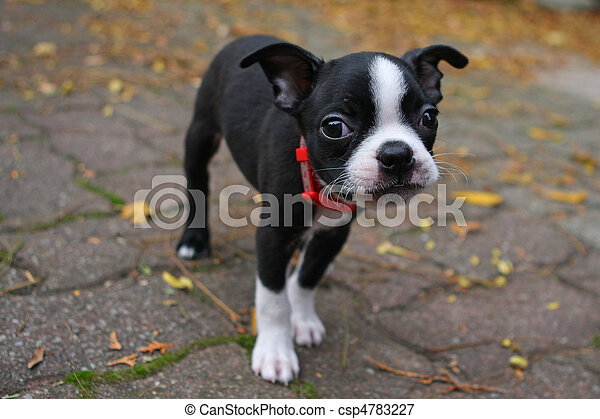 Pelagem. O Boston Terrier ...