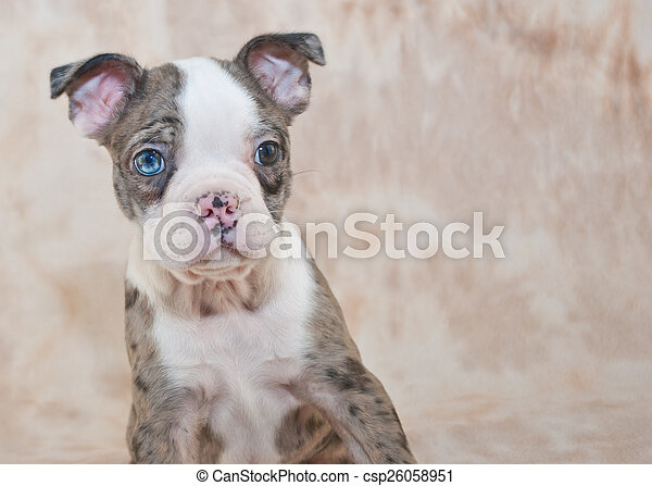 boston terrier puppy close up of a silly boston terrier puppy with
