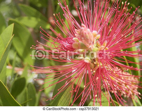 bottle brush flower - csp37913021