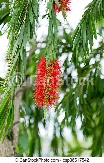 Bottle brush flower with leaf. - csp38517542