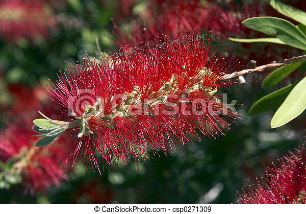 Bottle Brush - csp0271309