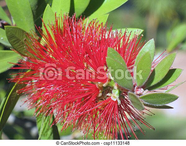 Bottlebrush flower - csp11133148