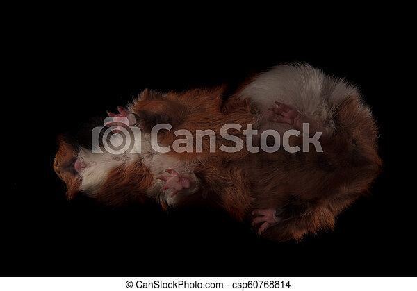 bottom view of cute brown guinea pig standing on glass