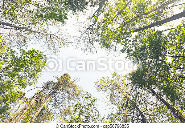 Bottom view of tall old trees in green forest - csp56796835