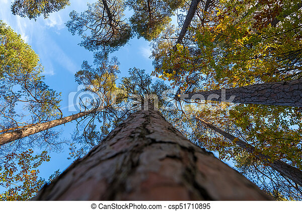 Bottom view of tall old trees - csp51710895