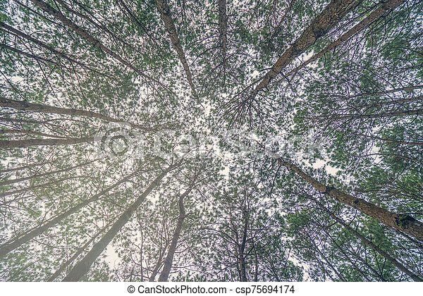 Bottom view of trunks trees in a pine forest - csp75694174