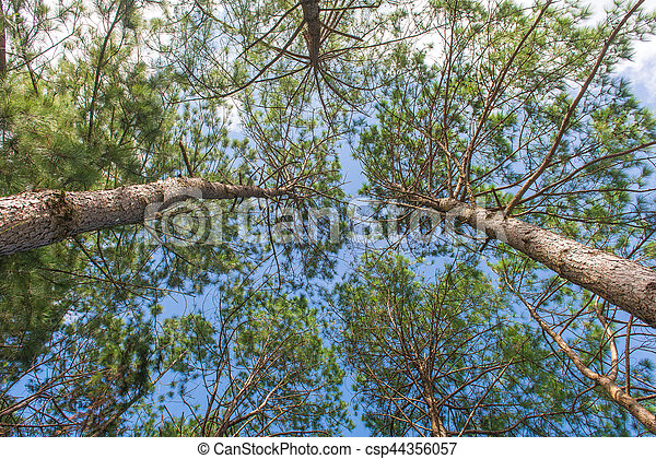 Bottom view of trunks trees in a pine forest - csp44356057