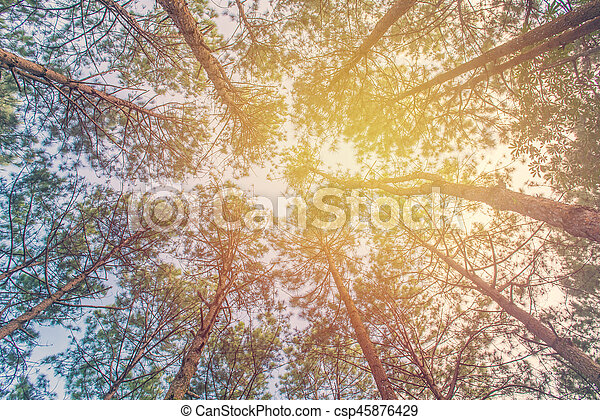 Bottom view of trunks trees in a pine forest - csp45876429
