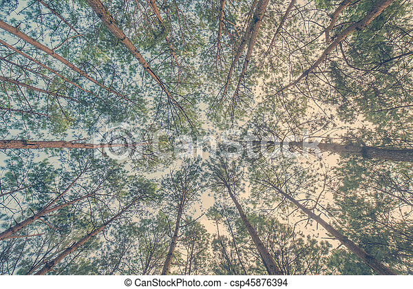 Bottom view of trunks trees in a pine forest - csp45876394