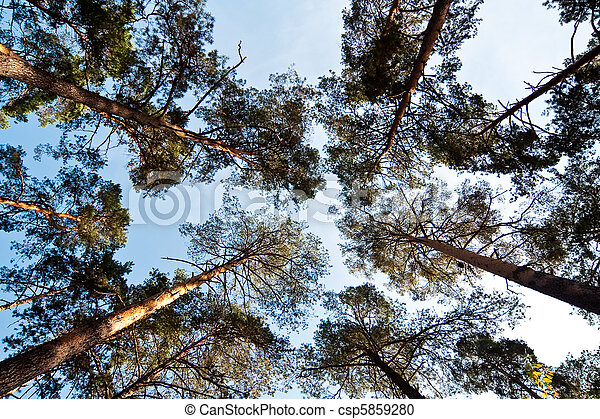 Bottom wide view of pine trees - csp5859280