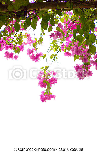 bougainvillea bloom - csp16259689