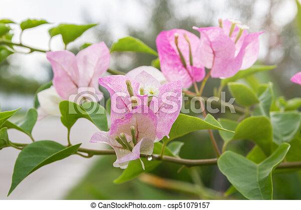 Bougainvillea flower with leaves beautiful paper flower vintage in bougainvillea flower with leaves beautiful paper flower vintage in the garden mightylinksfo