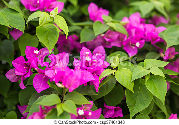 Bougainvillea paper flower in colorful color plant bougainvillea paper flower in colorful color csp37461348 mightylinksfo