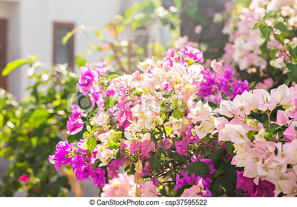 Bougainvillea paper flower in colorful color plant bougainvillea paper flower in colorful color csp37595522 mightylinksfo