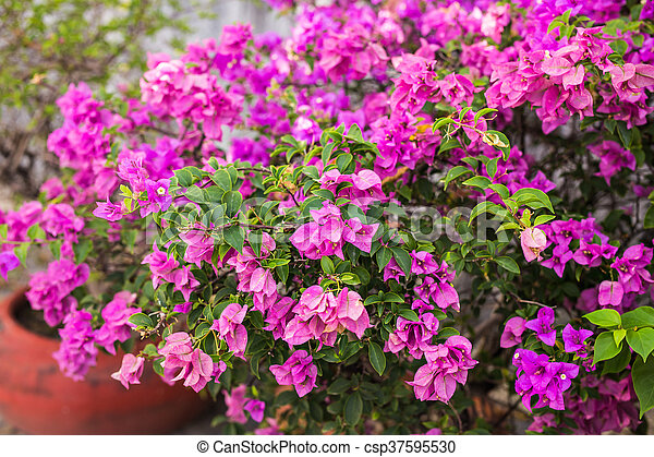Bougainvillea paper flower in colorful color plant stock photos bougainvillea paper flower in colorful color csp37595530 mightylinksfo