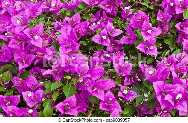 Bougainvillea paper flower bougainvillea paper flower bougainvillea paper flower csp9039057 mightylinksfo