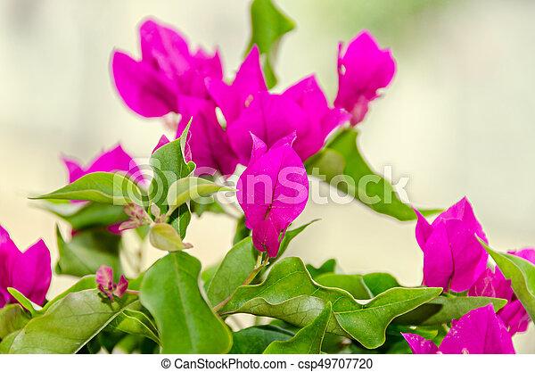 Bougainvillea pink branch flowers paper flower with green leafs mightylinksfo