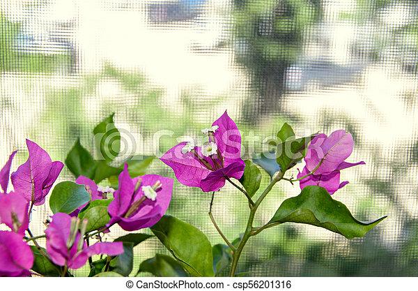 Bougainvillea pink ornamental flowers paper flower branch stock bougainvillea pink ornamental flowers paper flower branch with green leafs in a pot csp56201316 mightylinksfo