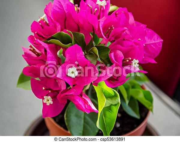 Bougainvillea pink ornamental flowers paper flower branch with bougainvillea pink ornamental flowers paper flower branch with green leafs in a pot mightylinksfo
