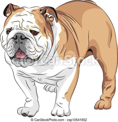 bouledogue, race, vecteur, croquis, anglaise, chien - csp10541652