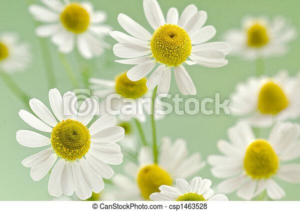 bouquet, camomile - csp1463528