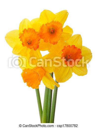 Bouquet Fleur Jonquille Isole Ou Fond Narcisse Coupure Blanc