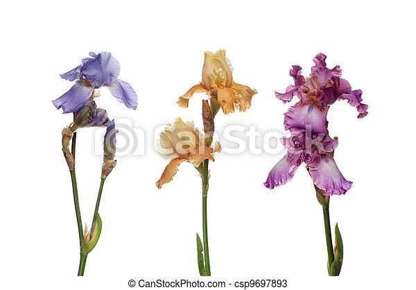 bouquet, iris, fleurs - csp9697893