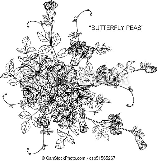 Bouquet of butterfly pea flowers drawing. - csp51565267