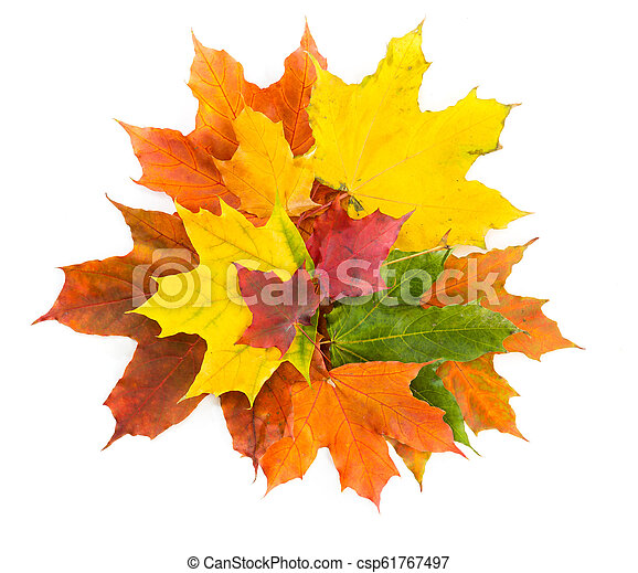 Bouquet of colorful autumn maple leaves on a white background. - csp61767497