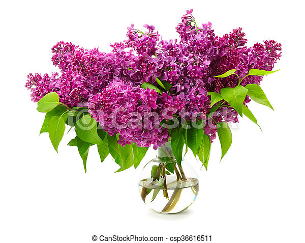 bouquet of lilac in a glass vase isolated on white background - csp36616511