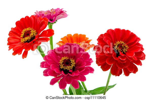 Bouquet of pink red and orange zinnia flowers isolated on white background. - csp11110645