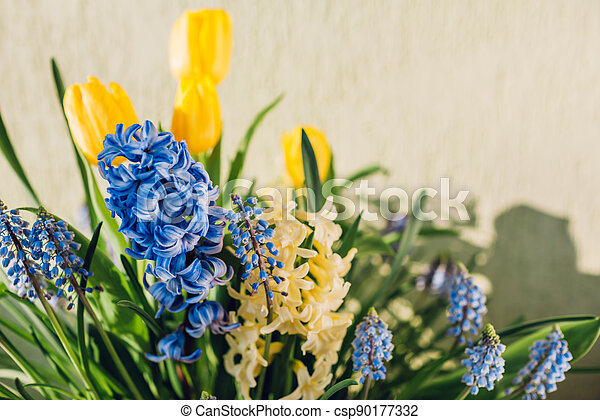 Bouquet of spring flowers. Yellow tulips, hyacinths, blue muscari bloom at home. Holiday decor - csp90177332
