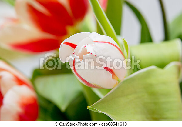bouquet of tender tulips on a white background - csp68541610