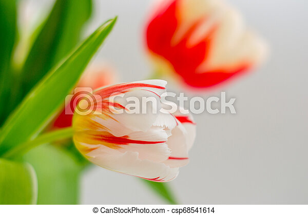 bouquet of tender tulips on a white background - csp68541614