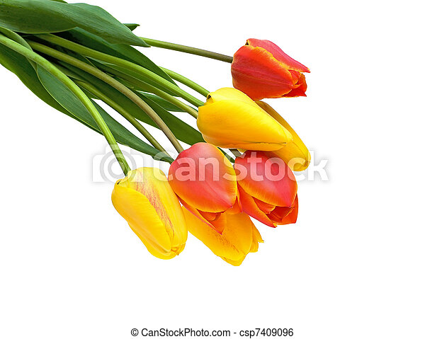 bouquet of tulips on a white background - csp7409096