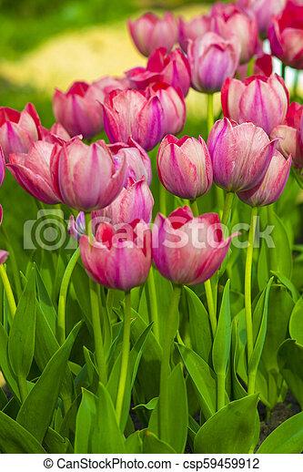 bouquet of tulips - csp59459912