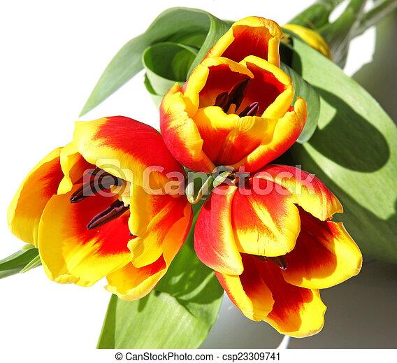 Bouquet of tulips - csp23309741