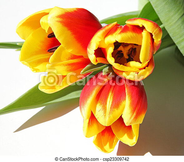 Bouquet of tulips - csp23309742