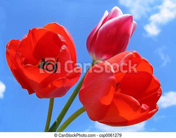 bouquet, tulipes - csp0061279