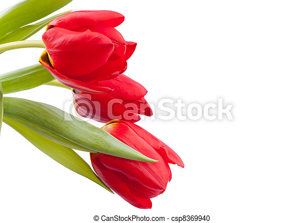 bouquet, tulipes, rouges, printemps - csp8369940